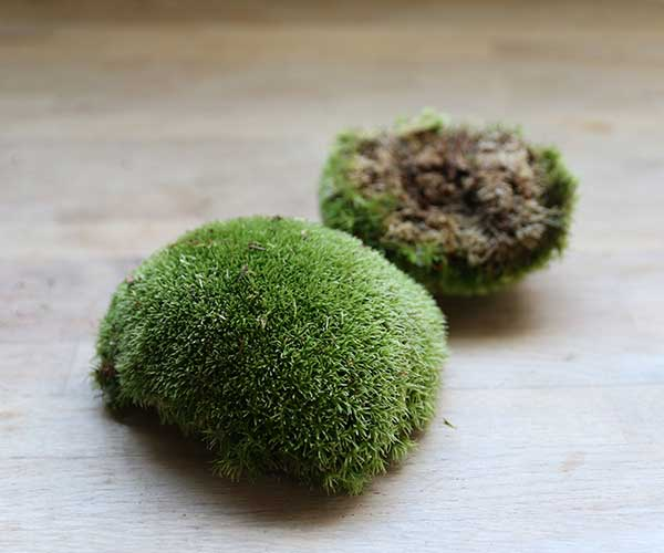 buy live cushion moss terrarium moss