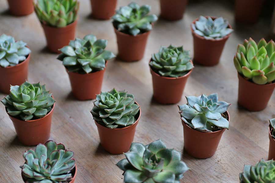 cacti succulent wedding favours wedding gift