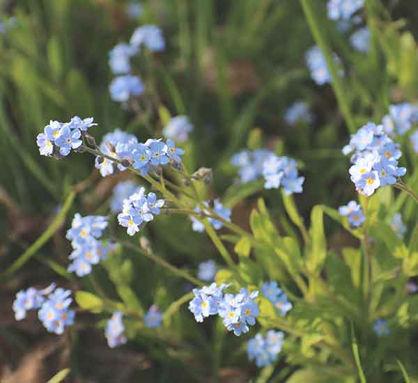 forget me not wild flower