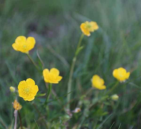 norfolk uk wild flower species