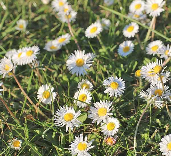 daisy wild flower