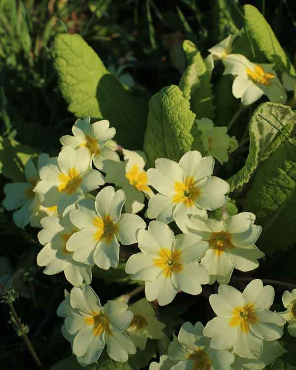 Primrose wild flower uk