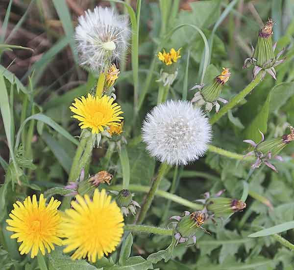 Norfolk wild flower dandelion