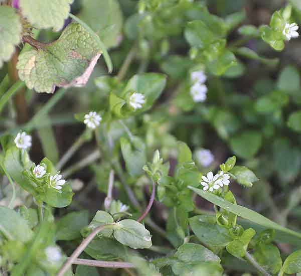 wild flower common chickweed
