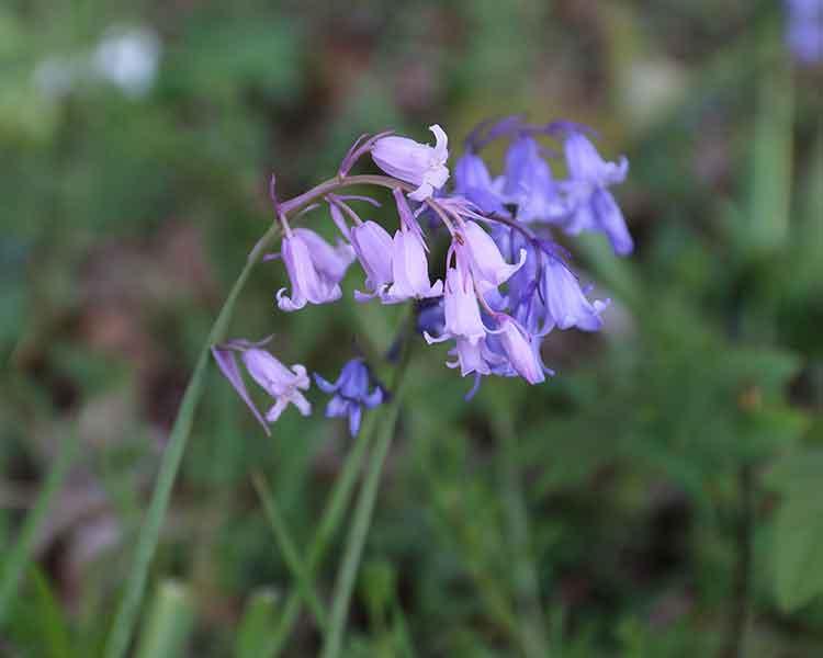 bluebell wild flower