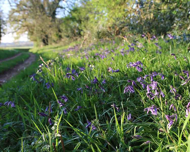 bluebell woodland uk