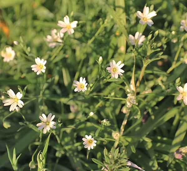 British wild flower greater stitchwort
