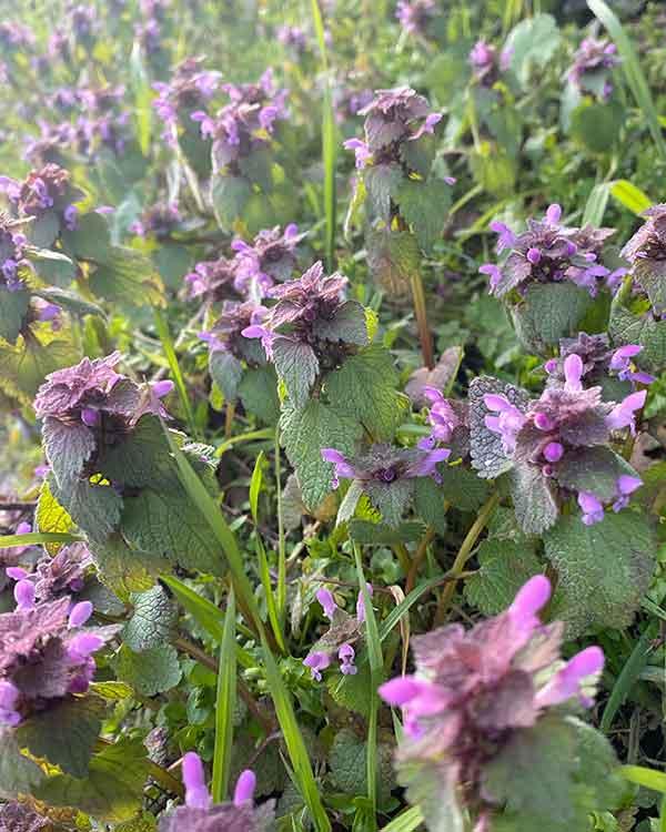 purple dead nettle uk