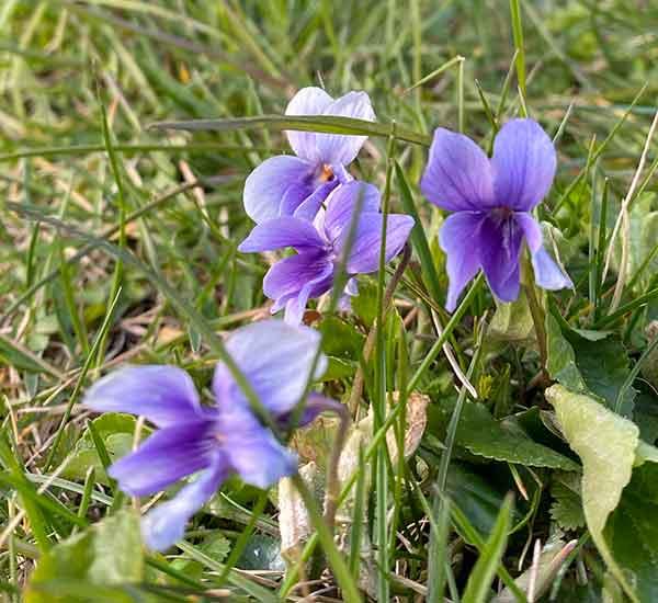 Wild Flower Sweet Violet Norfolk