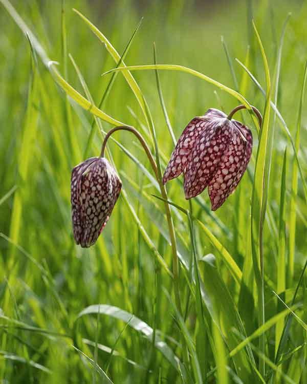 Fritillary Norfolk Wild Flower