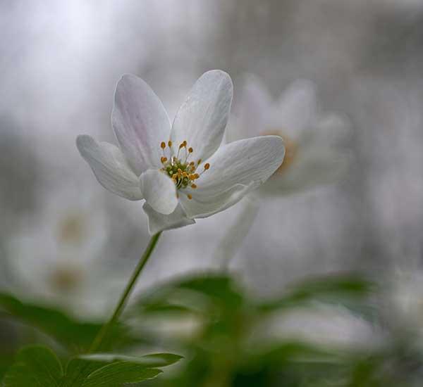 April wild flowers wood anemone