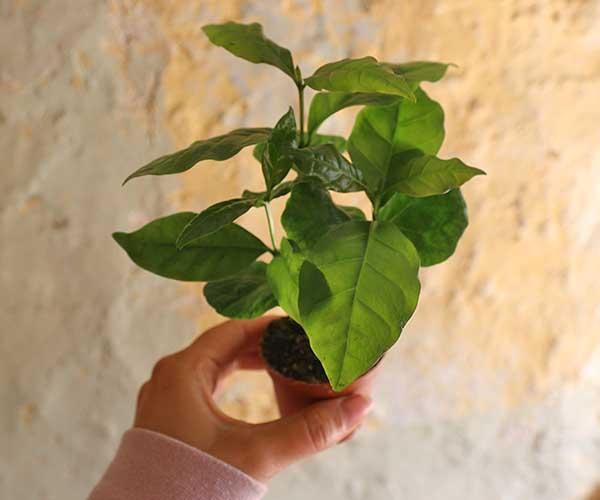 coffee plant coffee arabica