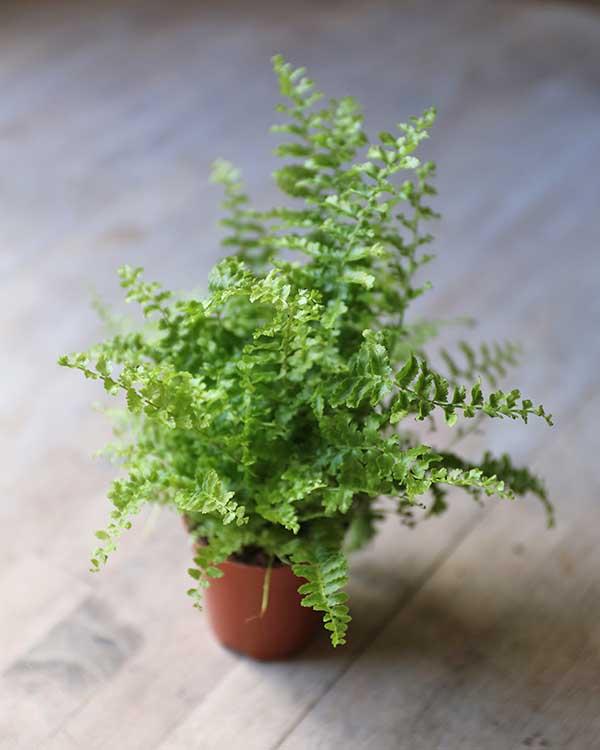 boston fern for terrarium