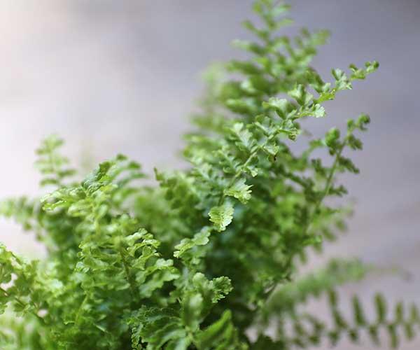 fern for terrarium