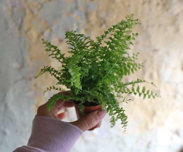 miniature fern