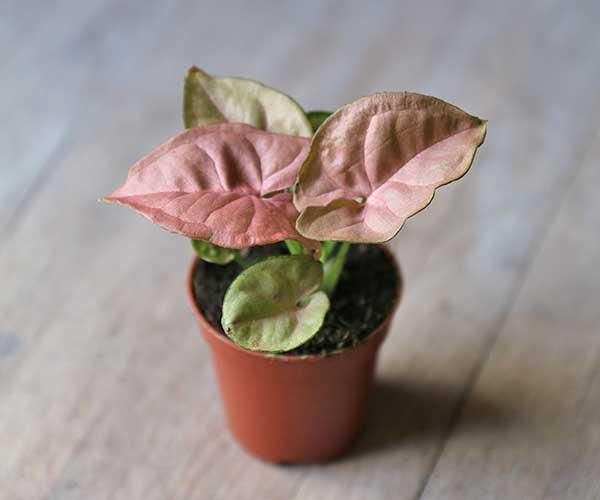 mini arrowhead plant