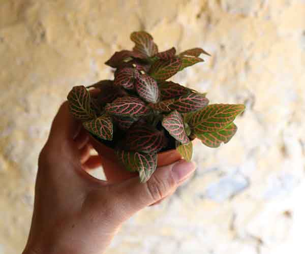nerve plant pink fittonia