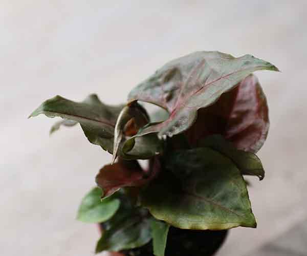 chocolate syngonium plant