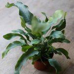 baby blue star fern