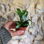 baby houseplant fern
