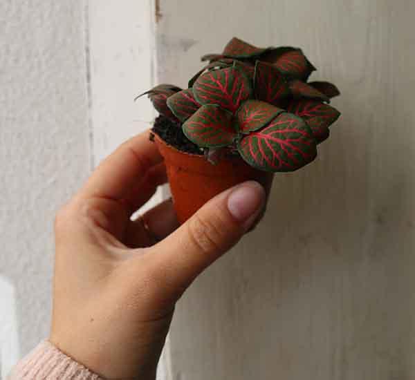 colourful nerve plant