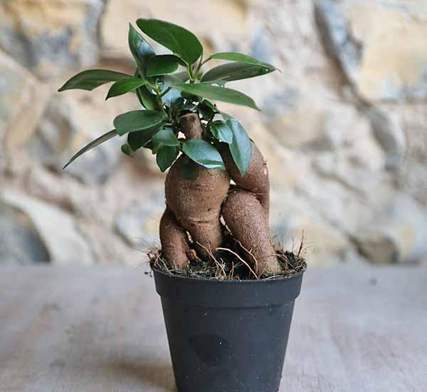 beautiful bonsai house plant