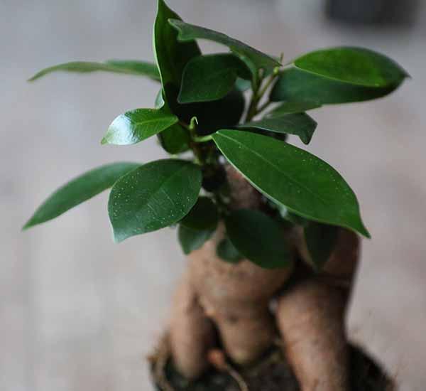 ficus ginseng for terrarium