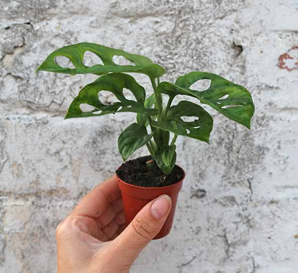 cheese plant for sale
