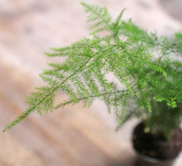 shop for ferns online