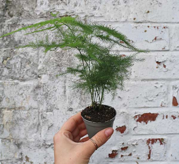 ferns for sale uk