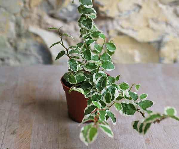variegated creeping fig
