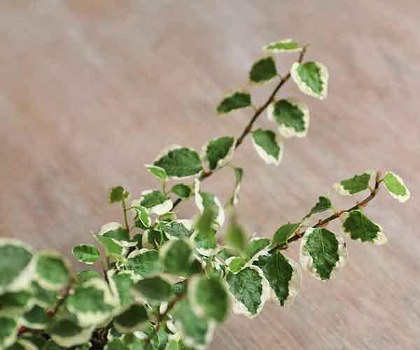 mini plants for sale online
