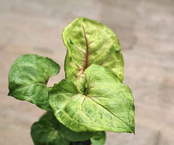 baby syngonium plant