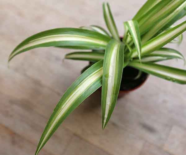 Small Spider Plant