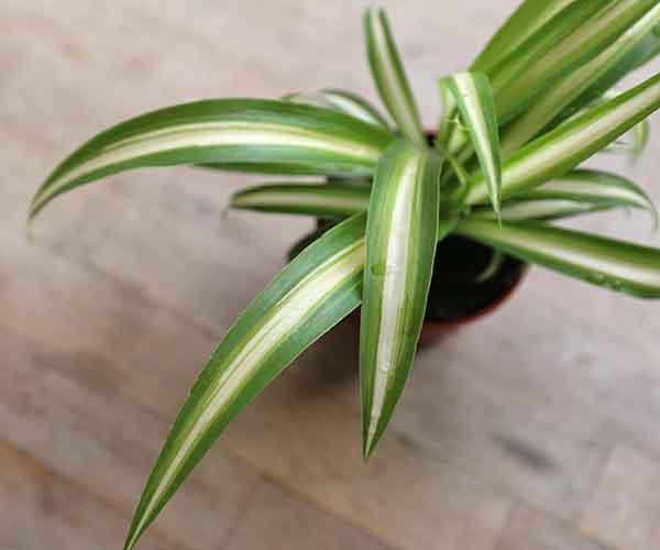 Buy Spider Plant Online