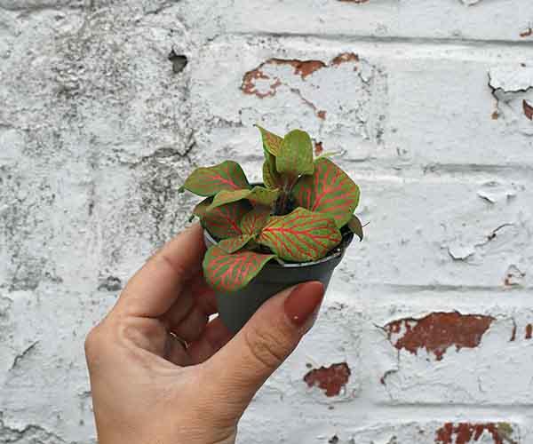 small fittonia terrarium plant