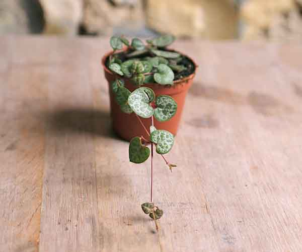 Mini String of Hearts Ceropegia Woodii