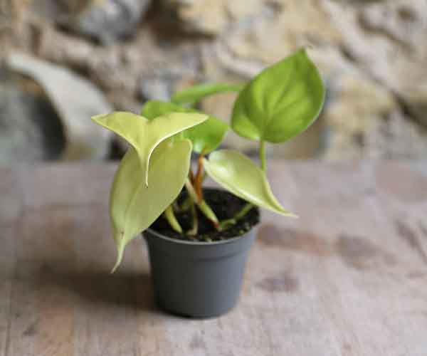 trailing house plant