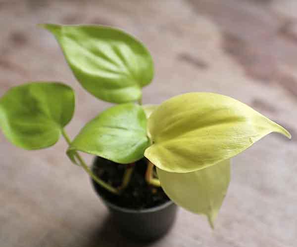 Mini Philodendron Hederaceum Lemon Lime