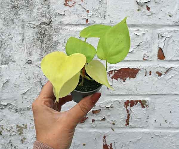buy tiny house plants online uk