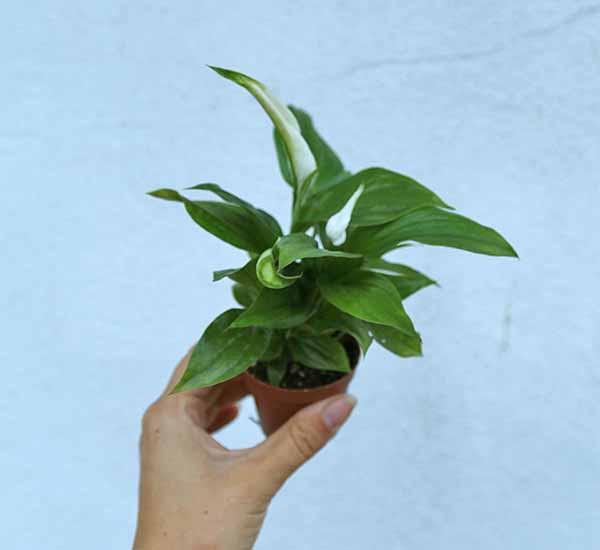 peace lily uk