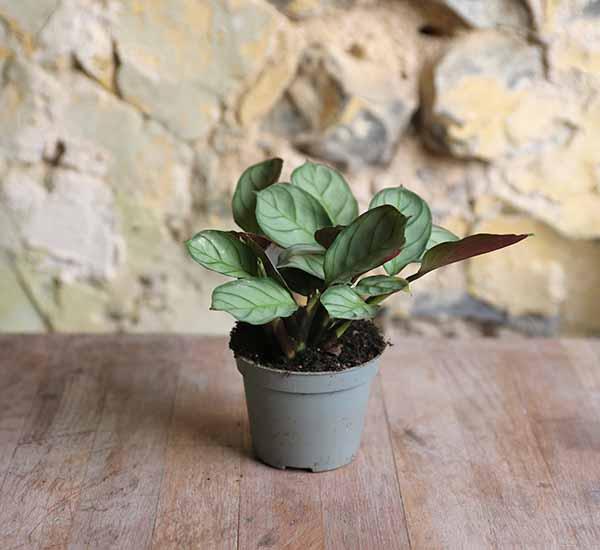 shop for plants online uk