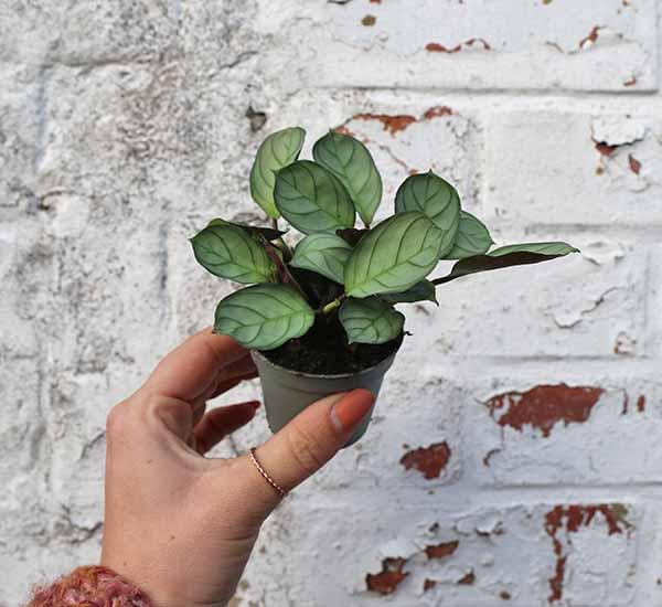 never never plant ctenanthe amagris