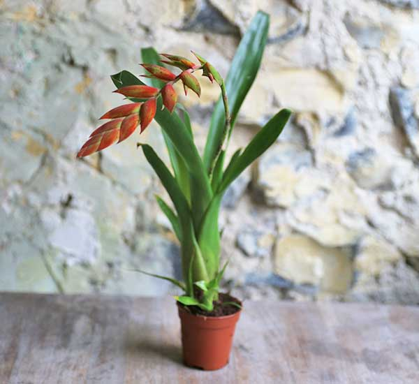 tropical bromeliad uk