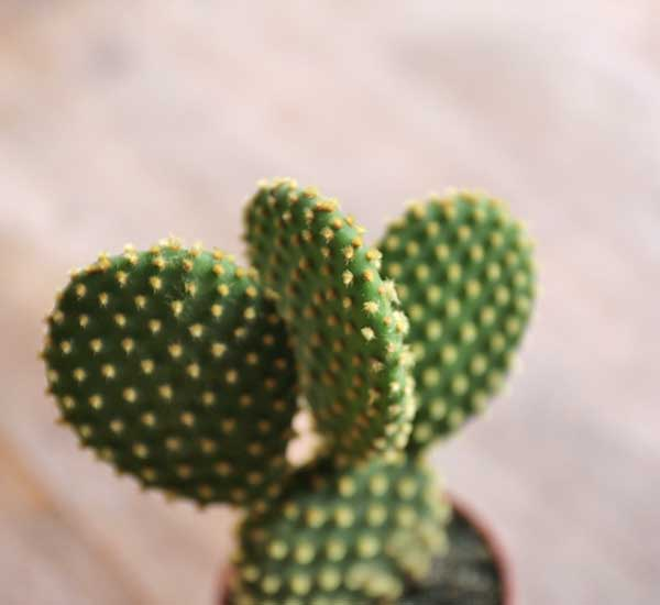 shop for opuntia online