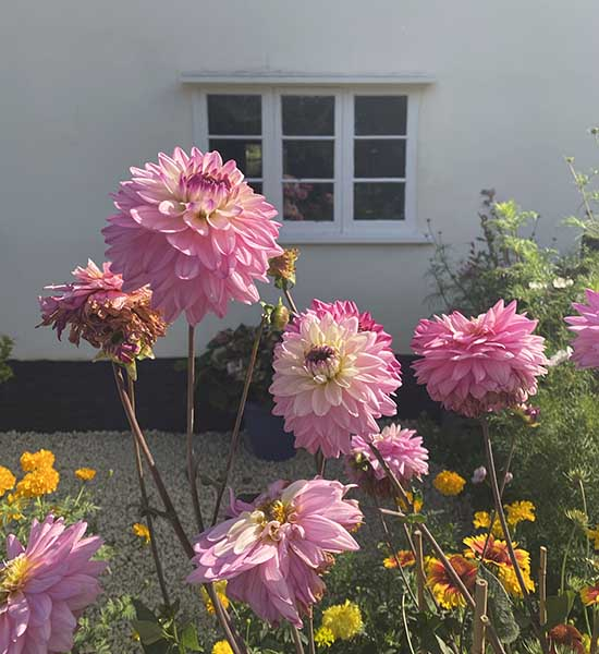 facts about dahlias
