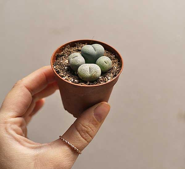 buy living stones online