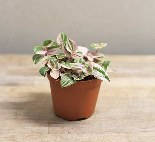 variegated inch plant