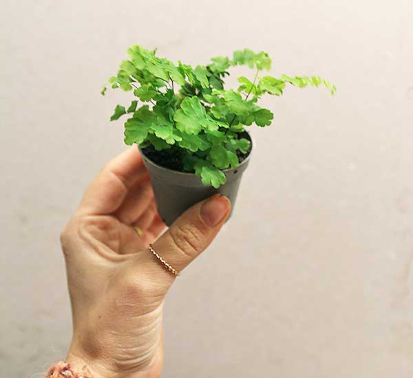 terrarium fern buy online uk