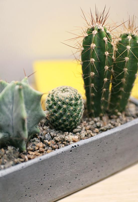 cactus plants for sale